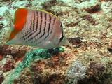 Madagascar Butterflyfish Pinnaple Cu