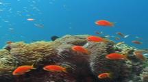 Vibrant Fish Activities Swaying Sea Anemone
