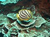 Two Meyer's Butterflyfish Cu