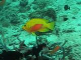 Slingjaw Wrasse Moving Along Reef