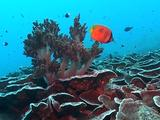 Butterflyfish In Among Soft Coral