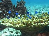 Juvenile Surgeonfish & Damselfish Coral Head