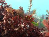 Sea Hare Among Red Algae
