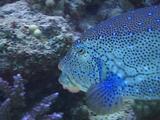 Honeycomb Cowfish Tracking Vibrant Blue