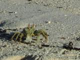 Horned Ghost Crabs On  Beach