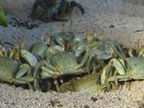 Horned Ghost Crabs Searching Food On Beach