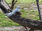 Fairy Tern With Baby