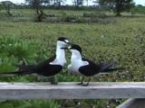 Sooty Tern Mating Display
