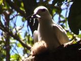 Fairy Tern Brings Food To Chick