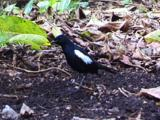 Seychelles Magpie Robin Searching Food