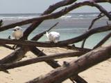 Fairy Tern On Dead Wood On Beach