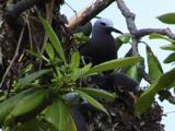 Lesser  Noddy In Nest With Baby