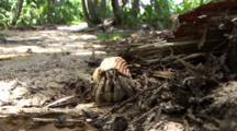 Pale Hermit Crab