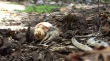 Pale Hermit Crab Rolls Over