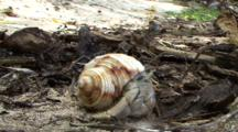 Pale Hermit Crab And Wright's Skink