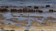 Sanderling In Rocky Intertidal