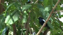 Seychelles Magpie-Robin In Tree