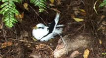White-Tailed Tropicbird In Ground Nest