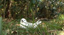 Juvenile Fairy Tern