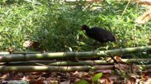 Moorhen Looking For Food Between Bambou