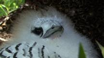 Juvenile White-Tailed Tropicbird, Fuzzy Chick