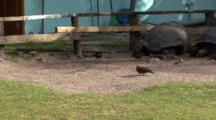 Moorhen , Barred Ground Dove And Giant Tortoises