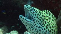 Black Spotted Moray