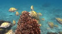 Convict Surgeonfishes