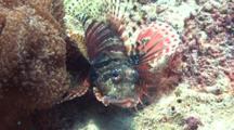 Zebra Dwarf Lionfish