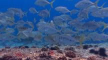 School Of Jackfishes And Humphead Parrotfish
