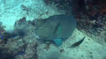 Humphead Parrotfish And Divers