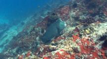Humphead Parrotfish And Diver