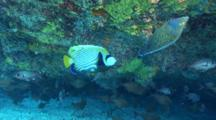 Semicircle Angelfish Chased By Emperor Angelfish
