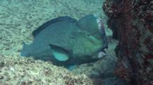 Humphead Parrotfish Resting And Then Go Away