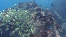 School Of Convict Surgeonfishes