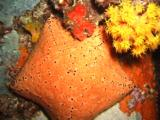 Cushion Sea Star  At Night