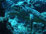 Hawksbill Turtle Searching For Food