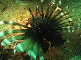 Lionfish In Swell