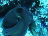 Octopus Mating
