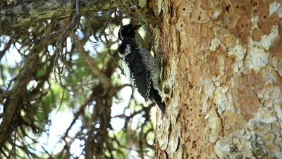 American three-toed woodpeckers with adult pecking around and feeding young.