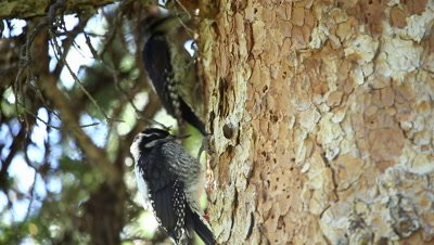 American three-toed woodpecker adult and young on tree pecking around the bark.