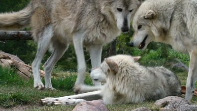 3 Wolves playing and chasing each other.