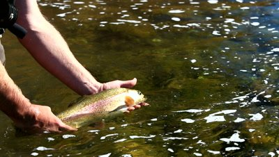 View of Rainbow Trout being released back in the river.