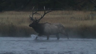 Bull Elk crossing the Madison River showing the signs of an injury as he is limping through the water.