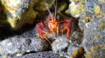 A Red Reef Lobster Uses Feelers or Antenae And Walks Back Into Cave