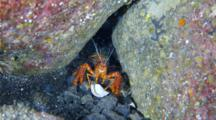 A Red Reef Lobster Grabs A Shell, Then Drops It And Goes Into Cave