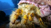 A Hairy Yellow Hermit Crab, Aniculus Maximus, Crawls Across The Seafloor