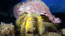 A Hairy Yellow Hermit Crab, Aniculus Maximus, Crawls Toward Camera