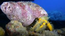 A Hairy Yellow Hermit Crab, Aniculus Maximus, Crawls Across Seafloor