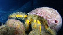 A Hairy Yellow Hermit Crab, Aniculus Maximus, Crawls Towards Camera